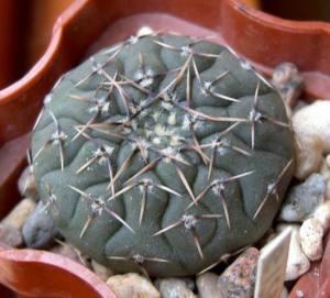 Gymnocalycium platygonum WR 224a