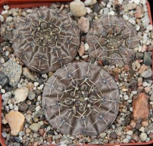 Gymnocalycium obductum BKS10.1 Salinas Grandes PILTZ