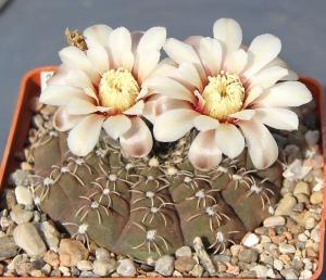 Gymnocalycium stellatum kleinianum