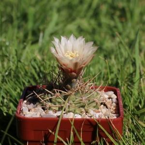 Gymnocalycium ochoterenae v. scoparium GN 98/245