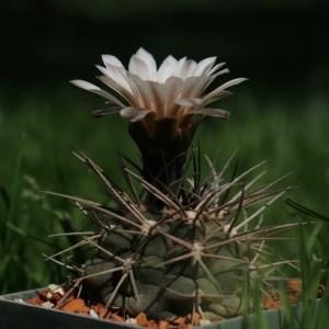 Gymnocalycium rhodantherum MT 07-249