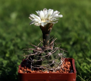 Gymnocalycium intermedium P 113