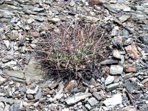 G. armatum - Paichu Tarija Bolivia